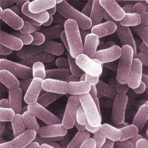 显微镜下的益生菌