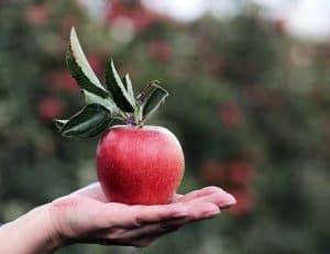 躺在手掌上的苹果。