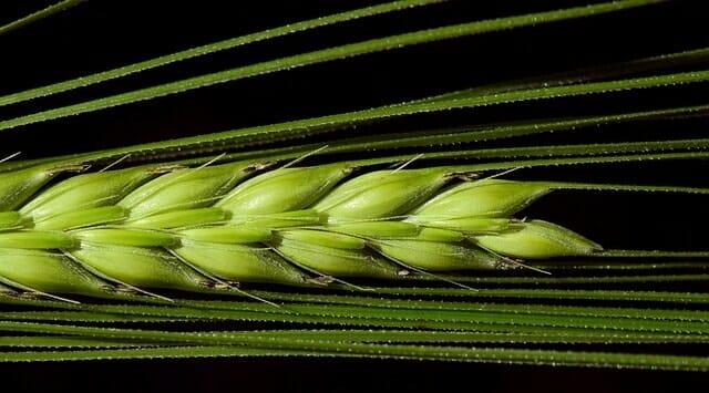 barley 2401213 640 1
