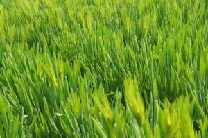 grass 657264 640 1 300x199 1