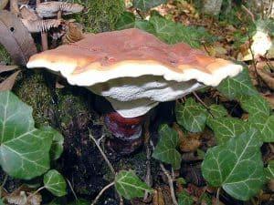 真菌reishi (Ganoderma lucidum)