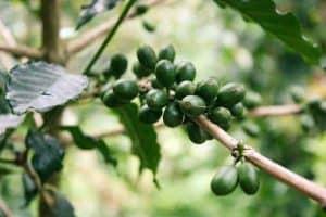 枝头上的绿色咖啡果