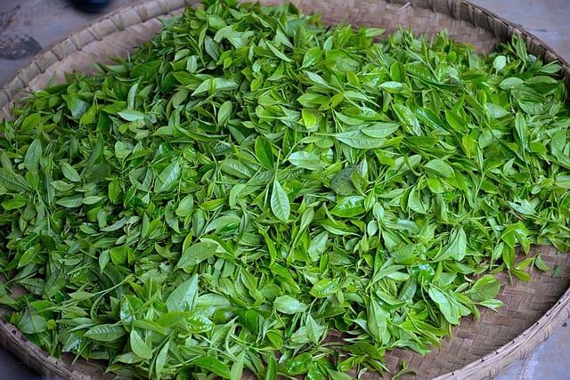 绿茶-鲜叶