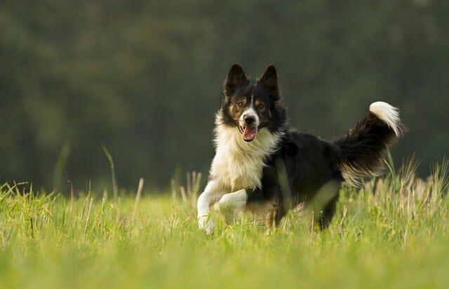你的狗在草地上奔跑