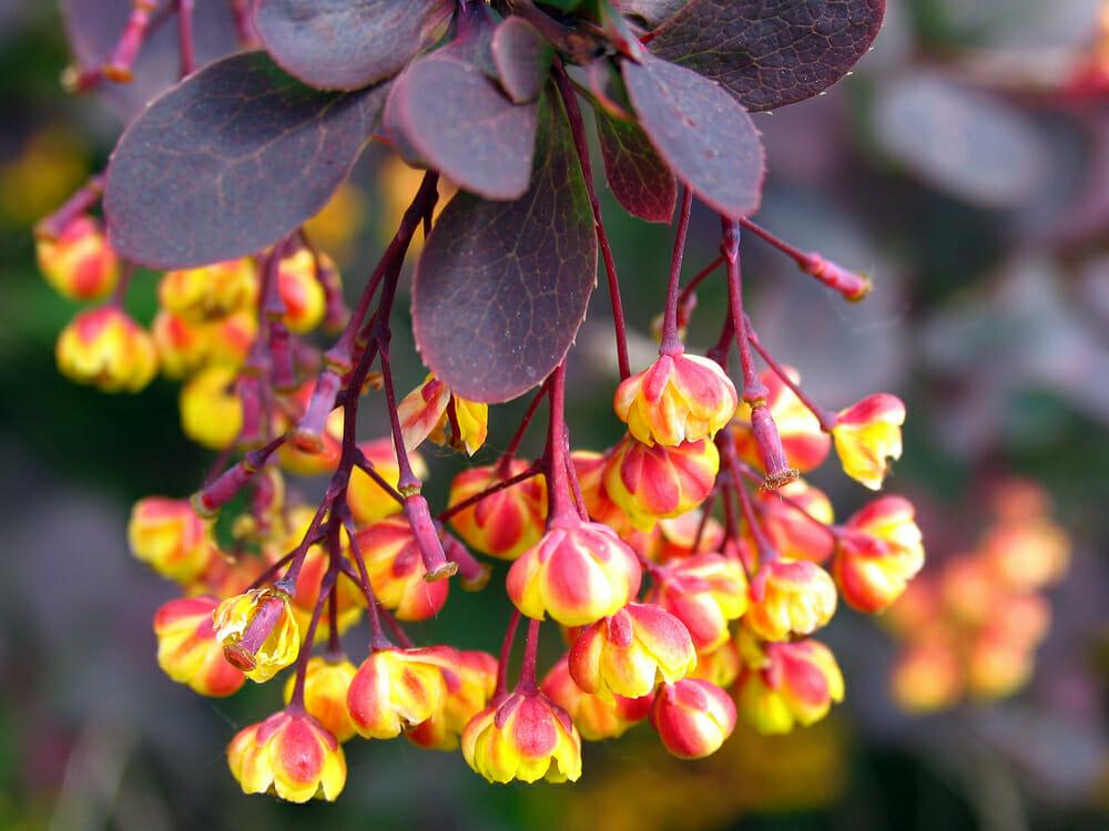 常见的小檗树